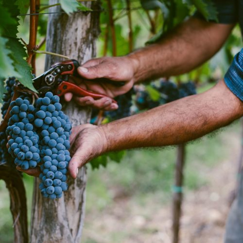 senior-mans-hands-harvesting-grapes-from-vine-556415823-58339d1f5f9b58d5b1bf918a